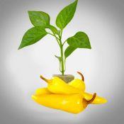 Wenks Yellow Hots